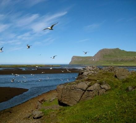 Fuglar í Hornvík.JPG