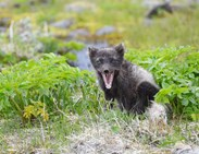 Yawning_Arctic_fox_in_Kviar_Hornstrandir_Nature_Reserve_Westfjords_of_Iceland.jpg